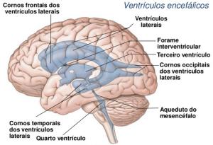 ventriculos